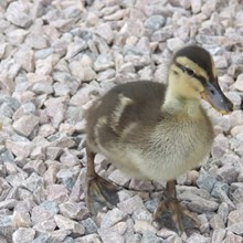 Baby Duckling from the River Wye on the Grounds of Lucksall Caravan and Camping park.