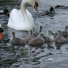 Family of Swans on the River Wye in Herefordshire.