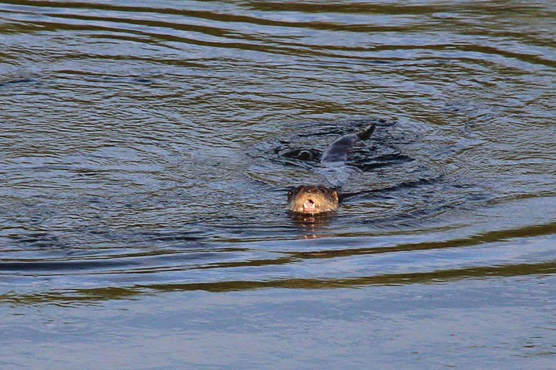 Otters on the river Wye offering excellent photograph opportunities.