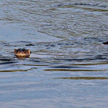 Otters swimming on the River Wye near Lucksall Caravan and Camping park.