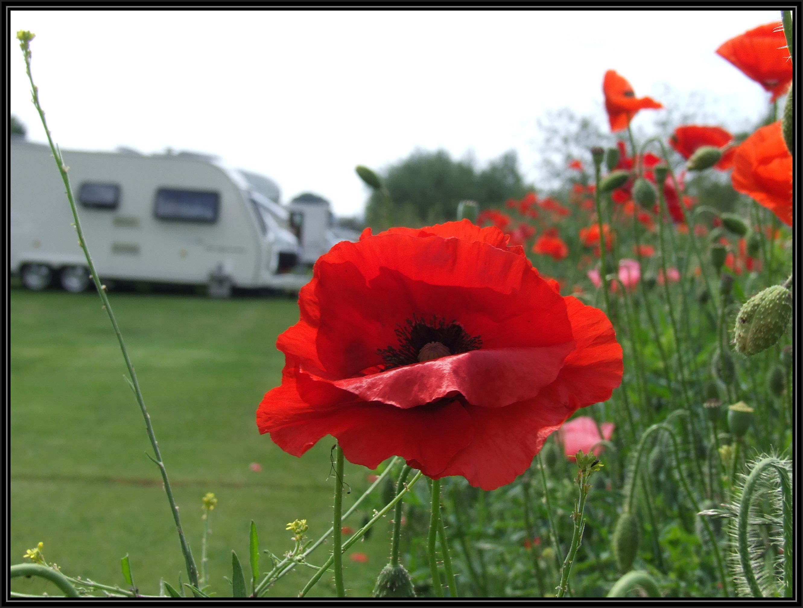 Vibrant flora of Herefordshire, a bright red poppy on the Lucksall Caravan & Camping Park Grounds.