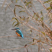 Kingfisher Lucksall Park